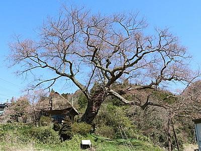 新潟県内お花見スポット 法乗坊の種蒔き桜(佐渡市)