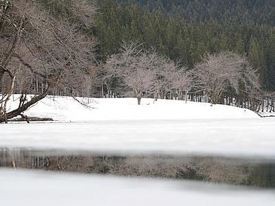 新潟県内お花見スポット 中子の桜(津南町)