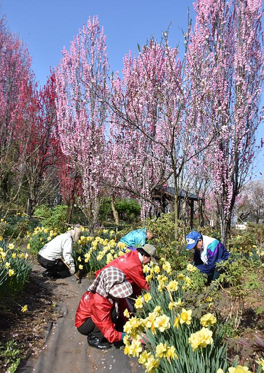 ハナモモやスイセンなどが見頃を迎えた「花の森・天神山ガーデン」