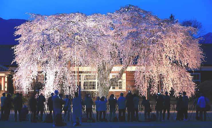 木造校舎前に浮かび上がるシダレザクラ。連日多くの写真愛好家が訪れ、ベストショットを撮ろうと思い思いの場所に陣取っている=16日夜、飯田市竹佐
