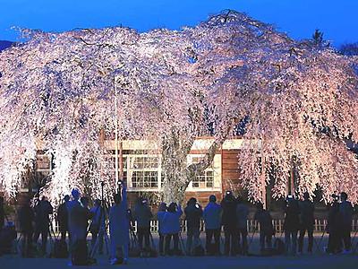 シダレザクラ、思い出と共に 飯田・木造の旧校舎