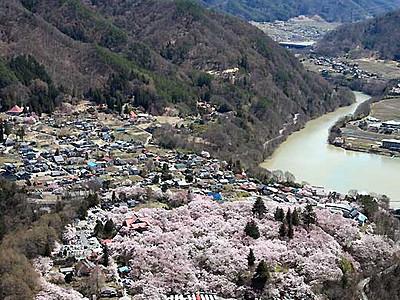 銀嶺はるか、高遠満開 伊那「天下第一の桜」