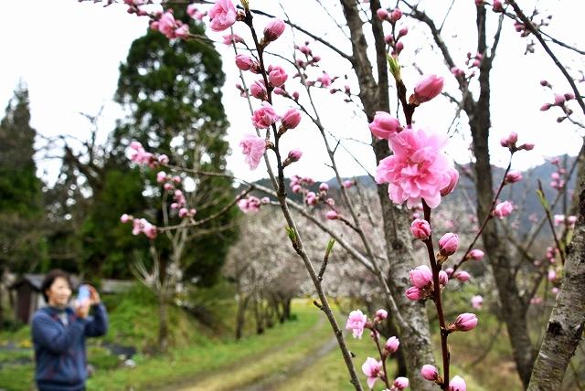 ふっくらと咲き始めたハナモモ=19日、福井県大野市西勝原の勝原花桃公園