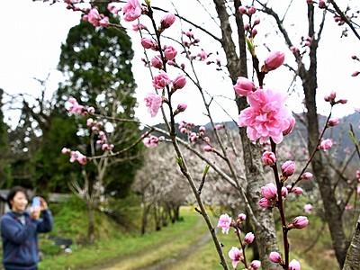 ハナモモ、本番もうすぐ 大野市西勝原、23日にお花見会