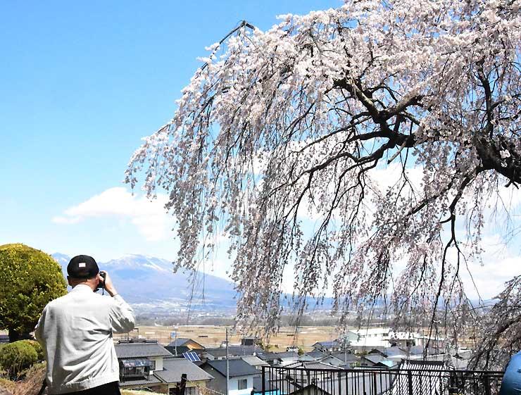 満開の「関所破りの桜」と浅間山を撮影する写真愛好家