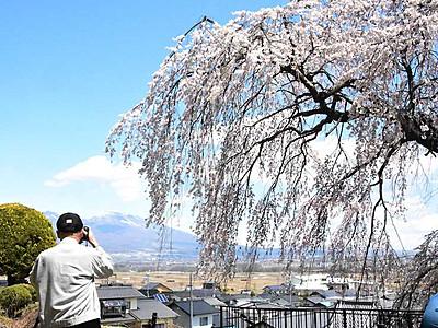 佐久「関所破りの桜」満開 樹齢250年、写真愛好家ら次々