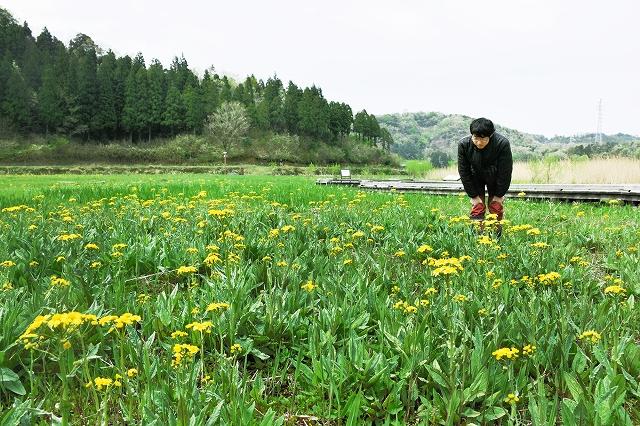 中池見湿地で咲き始めたサワオグルマ=20日、敦賀市樫曲