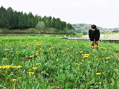 サワオグルマ開花 中池見にかれんな黄色