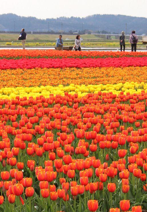 色とりどりの花々が見頃を迎えたチューリップ畑=21日、五泉市一本杉