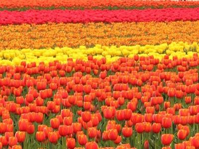 野も山も花盛り チューリップ鮮やか 五泉
