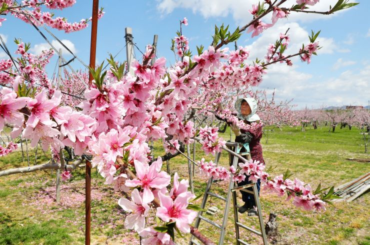 鮮やかなピンクの花が満開になった桃=23日、長岡市左近町