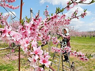 色に香りにうっとり 「左近の桃」500本満開 長岡