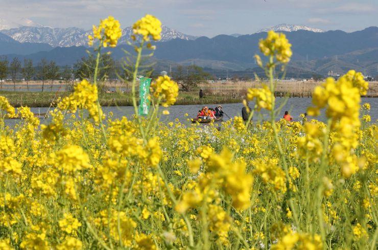 見頃を迎えた菜の花畑=22日、新潟市北区