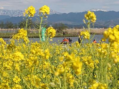 ほのぼの黄の世界 菜の花満開 新潟・福島潟