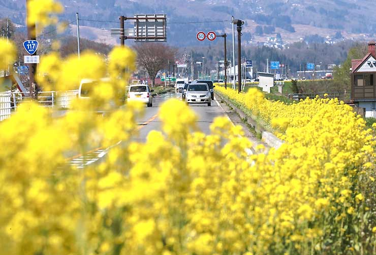 見頃を迎え飯山市の国道117号を黄色く彩る菜の花=24日、飯山市飯山