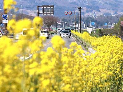 国道117の花、車窓彩る 飯山の千曲川沿い
