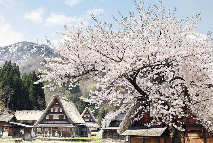 桜が咲き、春の雰囲気を漂わせる合掌集落=南砺市菅沼