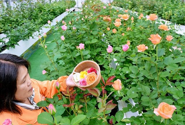 咲き始めた農薬を使わないバラ。花がら摘み体験もできる=26日、福井県坂井市ゆりの里公園