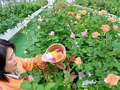 無農薬バラを摘んで、食べて GW見ごろ、福井県坂井市