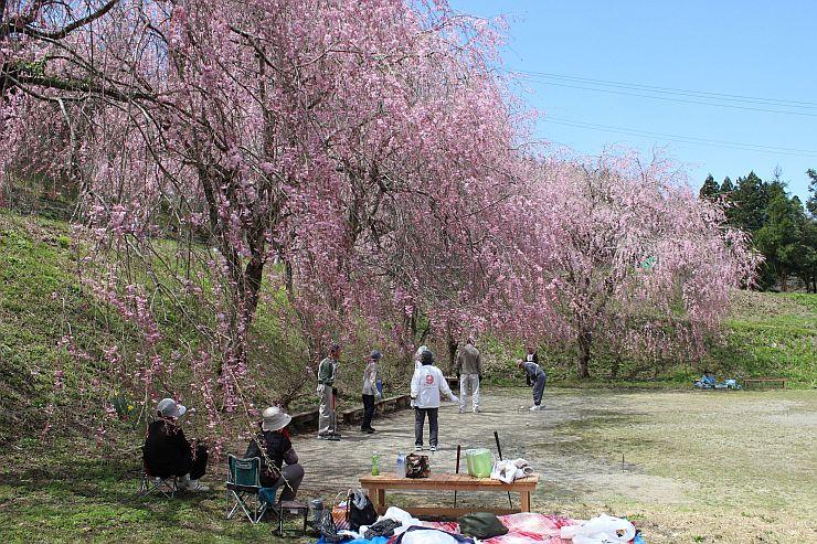 見頃を迎えたしだれ桜の下で、ゲートボールを楽しむお年寄り=25日、村上市中継