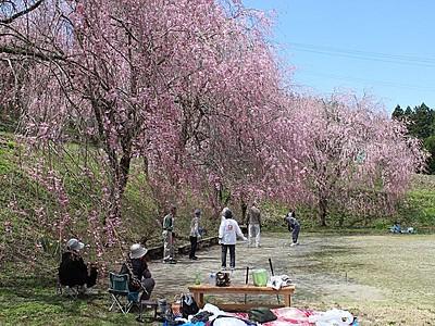 しだれ桜100本 連休まで見頃 村上・中継集落