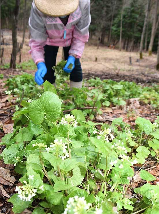 陸ワサビの白い花を摘み取った体験会