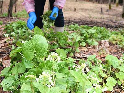 陸ワサビ、花摘み取り体験会 大町の農家ら特産品化目指し