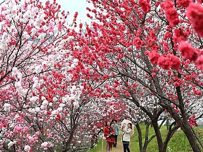 ここは桃源郷「見事な景色」 阿智・昼神温泉郷のハナモモ