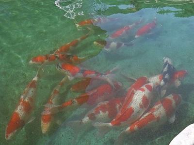 小千谷市 錦鯉池でのびのび