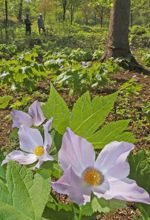 見頃を迎えているシラネアオイ=30日、長岡市宮本町3の雪国植物園