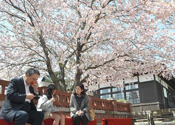 満開のヤエザクラの下、桜茶で一服する来場者