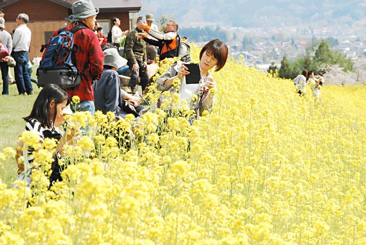 黄金色に輝く菜の花畑で写真撮影する観光客ら=飯山市