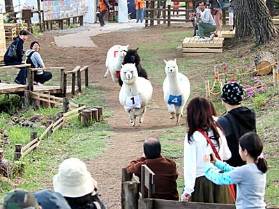 アルパカのレースに歓声 富士見の牧場