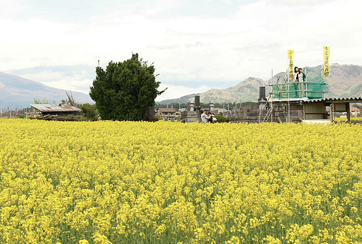 佐久市瀬戸で一面に咲いた菜の花