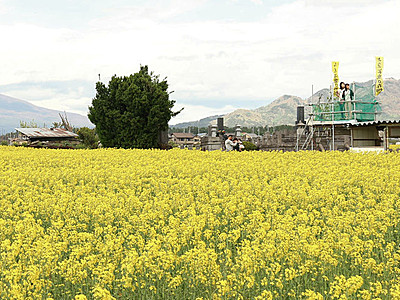 佐久市で菜の花満開 10日ごろまで見頃
