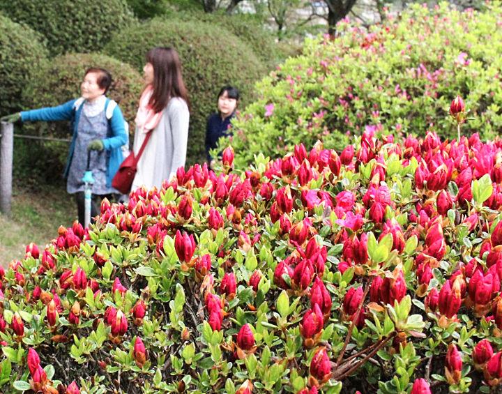 咲き始めた鶴峯公園のツツジ