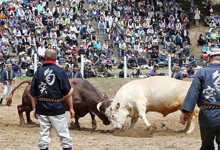 激しいぶつかり合いを繰り広げた牛の角突き初場所=3日、小千谷市小栗山