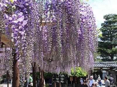 80畳のフジの花が見頃 新潟・北方文化博物館