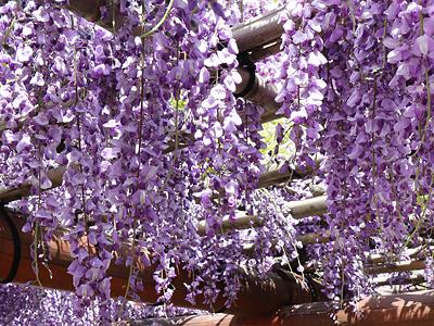 古刹でフジの花満開 井波・瑞泉寺
