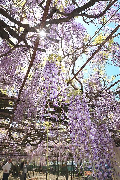 青空の下で見頃を迎えた「阿島の大藤」=8日午前10時半すぎ、喬木村阿島の安養寺境内