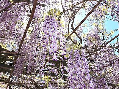阿島の大藤、花のカーテン 喬木・安養寺