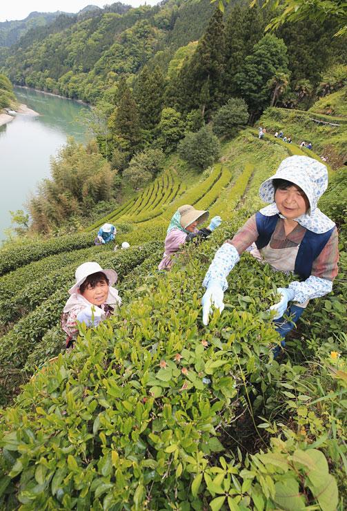 天竜川を見下ろす急斜面で始まった茶摘み=9日、天龍村中井侍