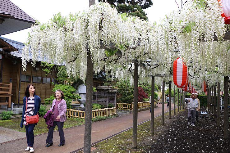 白い花房が垂れ下がる「八王寺の白藤」=11日、燕市八王寺