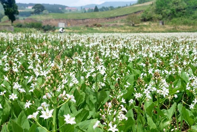 妻平湿原に広がる純白のミツガシワ=12日、大野市南六呂師