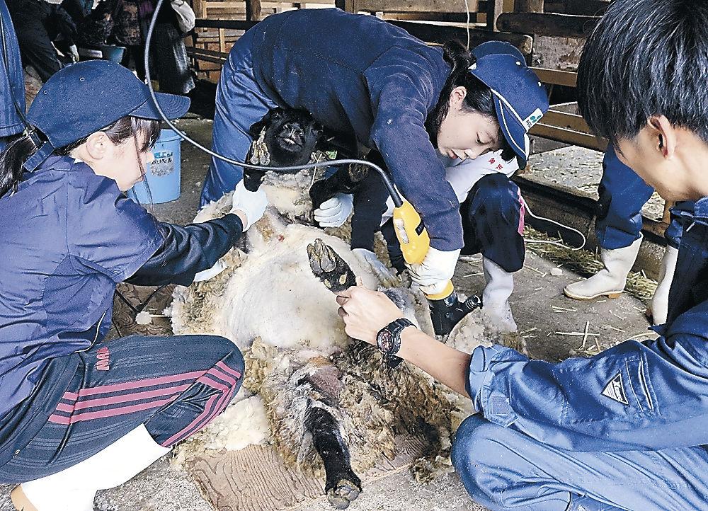 ヒツジの毛刈り作業を進める学生=白山市瀬木野町