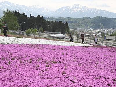 20万株色鮮やか シバザクラ見頃 魚沼・花と緑と雪の里