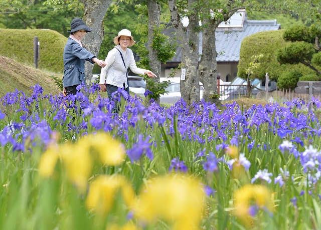青紫色の上品な花が見頃を迎えたカキツバタ園=16日、福井県越前市余川町の万葉の里味真野苑