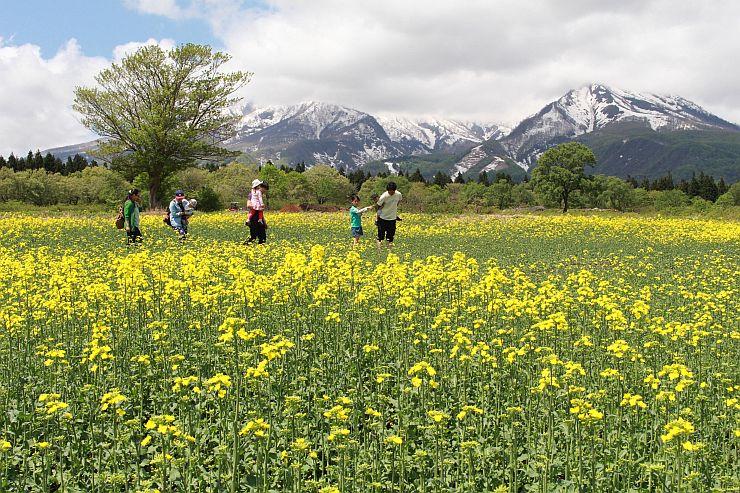 一面の菜の花畑を散策する家族連れら=14日、妙高市関山