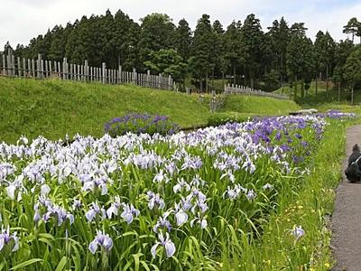 紫と白美の合戦 カキツバタが見頃 上越・春日山城史跡