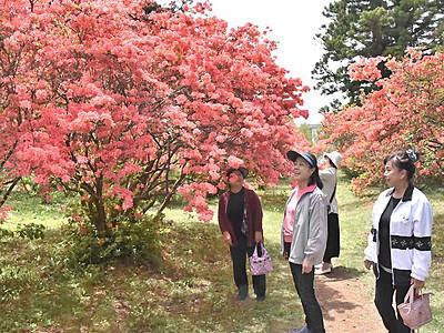 真田氏の館跡、ツツジ彩る 上田の公園、21日祭り